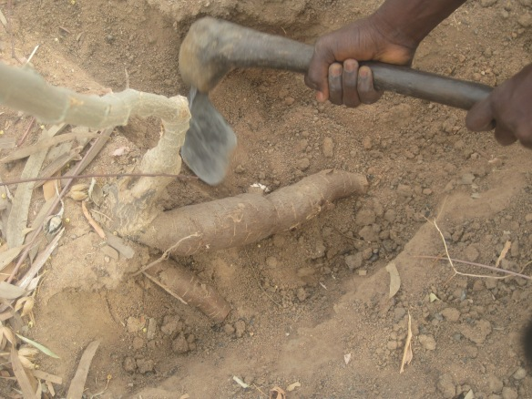 Digging cassava in Bawagraki, my village in Middle-Belt, Nigeria