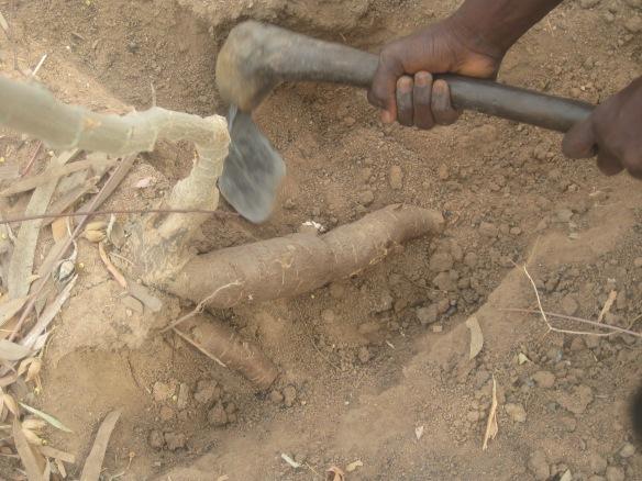 Digging cassava in Bawagraki, my village in Middle-Belt, Nigeria